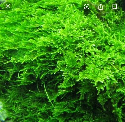 AU17.45 • Buy Christmas Moss In A Stainless Steel Mesh For Fish/shrimp Tank Aquarium.