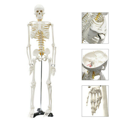 $46.99 • Buy Life Size Medical Anatomical Human Skeleton Model With Rolling Stand 85CM 33.5