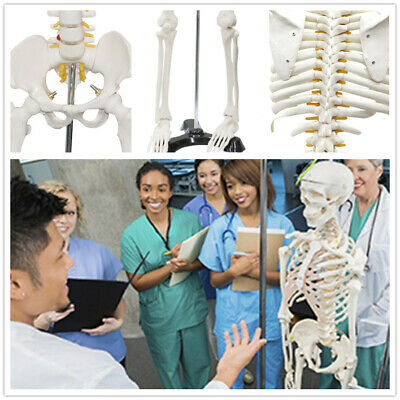 $42.99 • Buy 85CM 33  Medical Skeleton Model Life Size Human Skeleton Model For Anatomy Study