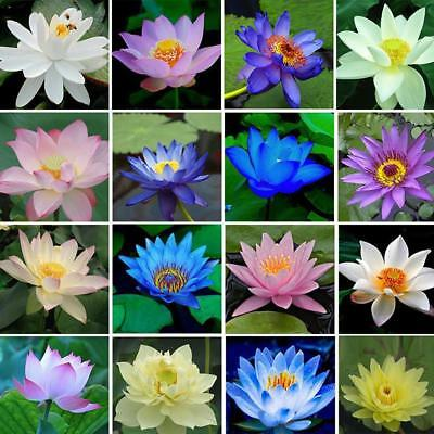 $ CDN2.31 • Buy 40Pcs  LOTUS FLOWER SEEDS AQUATIC PLANTS Lotus Water Lily Seeds New H7V6