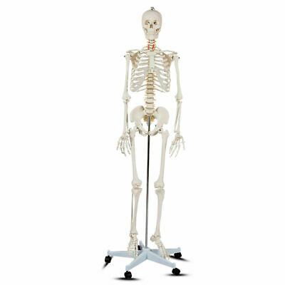 $105.99 • Buy 70.8'' Life-size Skeleton Model Medical School Human Anatomy  W/Rolling Stand