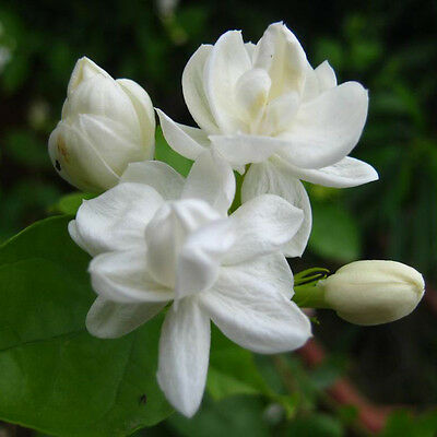 $1.18 • Buy 20 Pcs Cape Jasmine Jasminiodes White Shrub Aromatic Flower Seeds Plant
