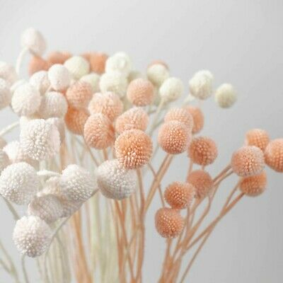 AU14.95 • Buy 10pcs Preserved Mini Billy Button Bunch Natural Dried Bleached Flowers DIY Decor