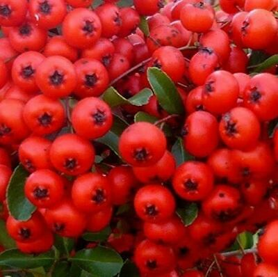 1x 3-4ft Large Pyracantha Red Column Plant - Evergreen Shrub - 3l • 19.99£