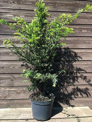5x Large Taxus Baccata English Yew Hedging Trees Evergreen - 3l Potted • 99.99£