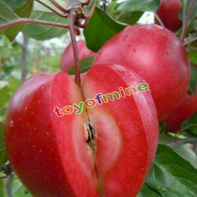 10pcs Rare Red Meat Bonsai Apple Tree Seeds Garden Yard Sweet Fruit Plant Seed • 2.14£
