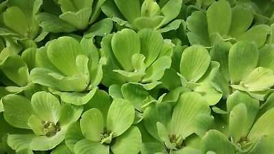 5 (five) X Pistia Stratiotes (Water Lettuce) - Floating Aquatic Plant • 15.40£