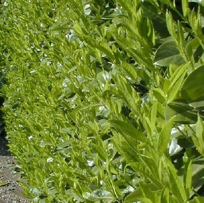 25x CHERRY LAUREL HEDGING TREES EVERGREEN POTTED 30-50cm TALL * CLEARANCE * • 39.99£
