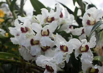 AU18 • Buy Dendrobium Sanderae Var Major - Species Orchid