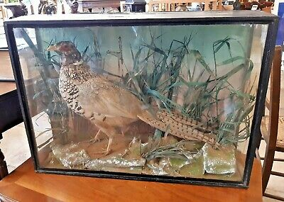 Victorian Taxidermy Cased Pheasant In Good Condition • 195£