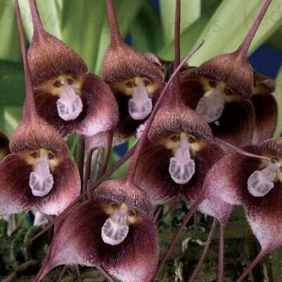 AU10.21 • Buy Seeds  Dracula  Monkey Orchid   30 Seeds