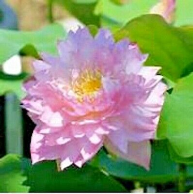 $ CDN7.59 • Buy 5 POLYPHYLL PINK LOTUS SEEDS  - Nelumbo Nucifera