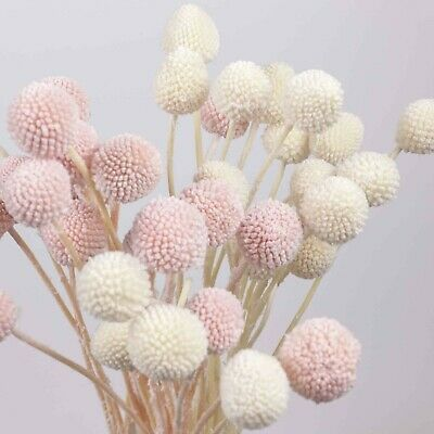 AU16.95 • Buy 10pcs Preserved Big Head Billy Button Bunch Natural Dried Bleached Flowers DIY