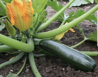 3x Courgette Ambassador Plug Plants Vegetables Garden Preorder