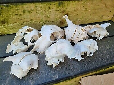 £20 • Buy Sheep Skulls  For Art Crafts And Drawing Taxidermy