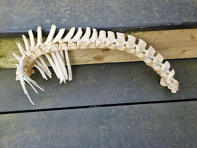 £25 • Buy Sheep Spine Vertebrae  For Art Crafts And Drawing. Sheep Skull Props