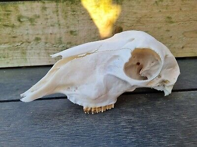£15 • Buy Sheep Skull  For Art Crafts And Drawing