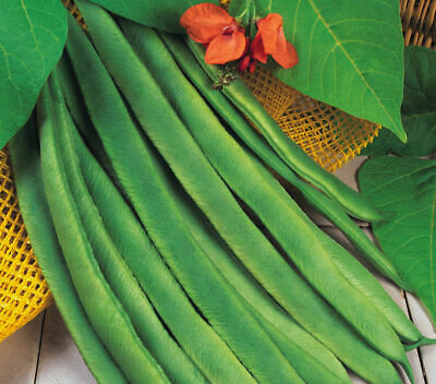 STRINGLESS LADY DI RUNNER BEAN...30 FRESH QUALITY SEEDS.. Fast Despatch • 2.95£
