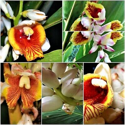 AU19.95 • Buy Exotic Alpinia Malaccensis Seeds Rare Tropical Orchid Yellow Red Flower Seed