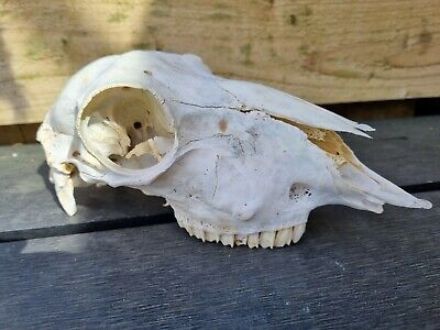 £15 • Buy Sheep Skull  For Art Crafts And Drawing Taxidermy Tattoo Painting