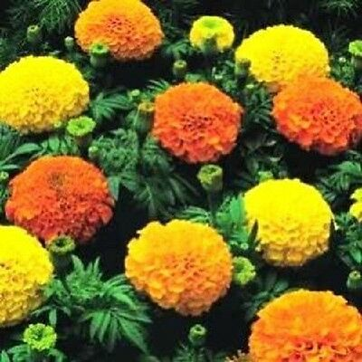 250 AFRICAN MARIGOLD CRACKERJACK Mixed Color Tagetes Erecta Flower Seeds *CombSH • 2.30£