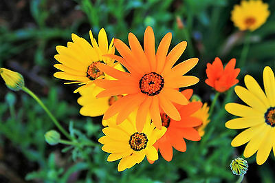 1000 MIXED AFRICAN DAISY DAISIES Dimorphotheca Aka Cape Marigold Flower Seeds • 2.30£