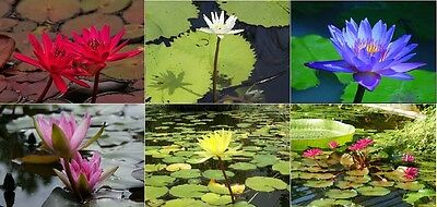$ CDN6.33 • Buy Nymphaea Water Lily / Lotus Seeds * Caerulea * Ampla * Flare * Capensis * 6 Pack