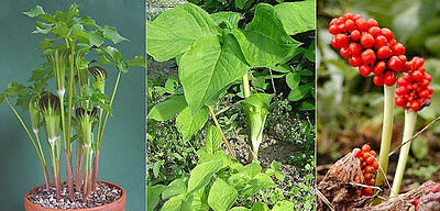 £4.36 • Buy Arisaema Amurense * Jack-In-The-Pulpit * Green/White Stripes * Rare * 5 Seeds *