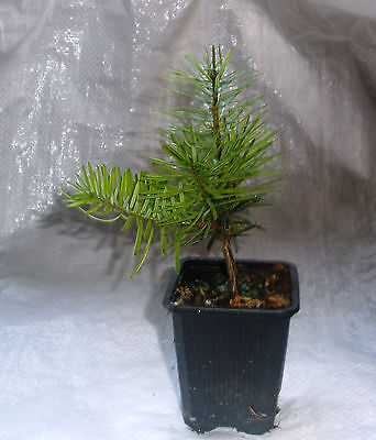 Nordmann Fir, Nordman Fir, Real Container Grown Plants 20 - 30cm Inc. Pot  X 2 • 11.99£