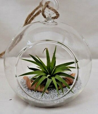 Air Plant Kit - Glass Hanging Globe / Terrarium With Sand Shells Live Tillandsia • 9.95£