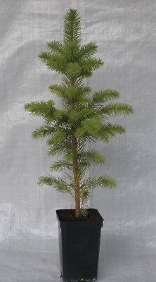 Colorado Spruce, Picea Pungens, Plant Tree 30 - 50 Cm Inc. Pot • 10.99£