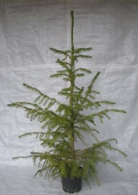 Serbian Spruce, Picea Omorika,Christmas Tree, Conifer 100 - 125cm Inc. Pot • 39.99£