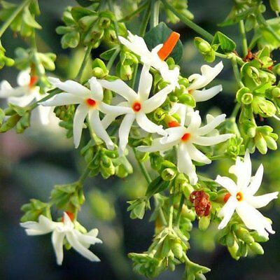 $10.99 • Buy Greenly Jasmine Flower Seeds - 20 Seeds