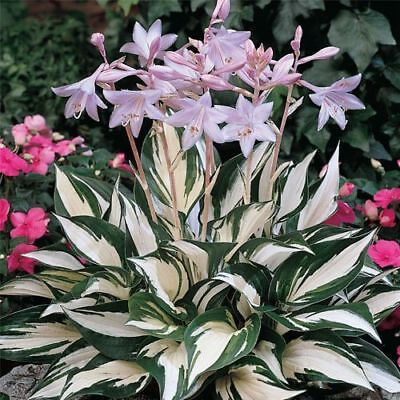 100 Fire And Ice Hosta Seeds Home Flower Garden Flowering Plant Seed • 3.15£
