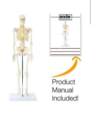 $58 • Buy Axis Scientific Mini Human Anatomical Skeleton Model 31 Inches Anatomy W/stand