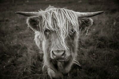 Highland Cow I - Coo - Hebrides - Black And White Fine Art Photographic Print • 47.50£