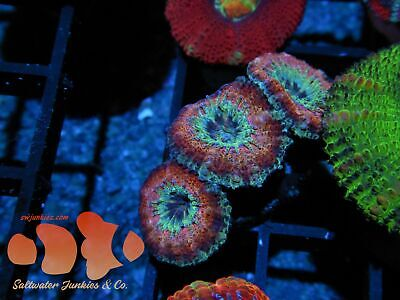$34 • Buy Pinky And The Brain Unique Rainbow Acans LIVE CORAL FRAG SALTWATER JUNKIES
