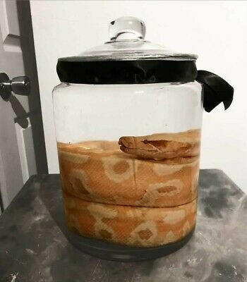 Large Blood Python Wet Specimen Taxidermy Piece Preserved In Very Large Jar  • 110£