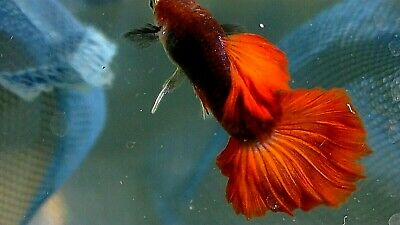 $55 • Buy 6 Fry+2 Free Fry Thai Hb Rose Guppies, Live Fish