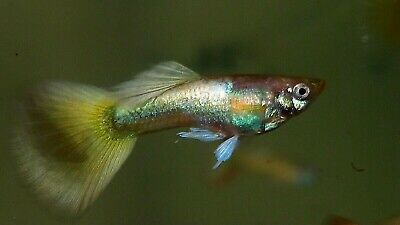 $35 • Buy 1 Pair (1m,1f) Gold Yellow Tail Guppies, Live Fish