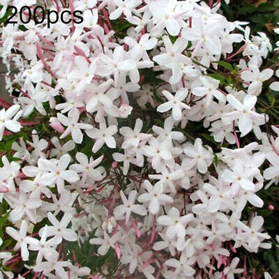 $2 • Buy 200 Jasmine Flower Seeds Mixed Perennial Fragrant Plant White Shrub Decor