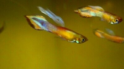 $50 • Buy 1 Pair (1m,1f) Tanaka's Candle Endlers Guppies, Live Fish