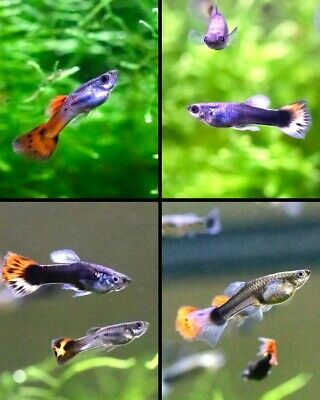 $22 • Buy 3 Pairs Fancy Guppies (6 Adult Fish) Live Freshwater Aquarium Easy