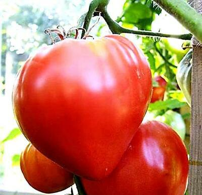 25 Oxheart Pink Tomato Seeds • 1.89£