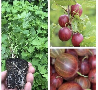 3 Red Gooseberry Bushes 'Giggles' (Young Transplants) Free UK Postage • 14£