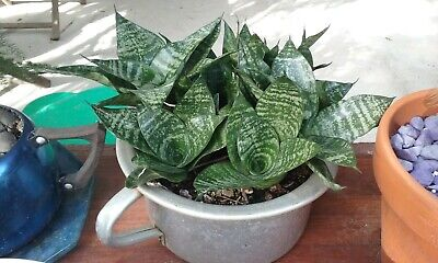 AU4.95 • Buy 'SPECIAL' Sansevieria Mother In Laws Tongue Hahni (1 Plant)