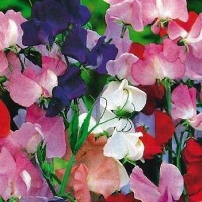 20 Sweet Pea Royal Beautiful Scent & 20 Mixed Sunflowers To Plant In Spring • 1.45£