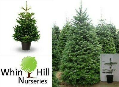 4x Abies Nordmanniana  Plant Non Needle Drop Christmas Evergreen FIR TREE Potted • 14.99£