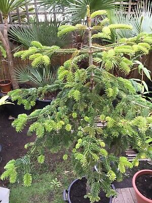 Christmas Tree Plant In 30 L Pot • 50£