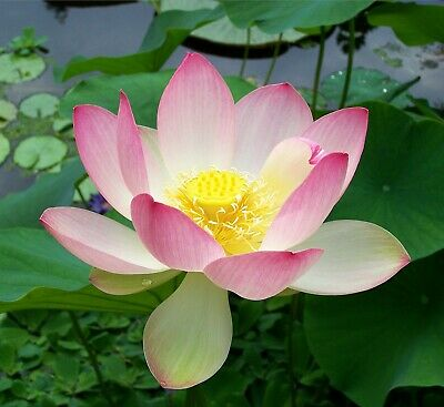 $ CDN18.21 • Buy Sacred Lotus   Nelumbo Nucifera   10 Seeds   (Free Shipping)